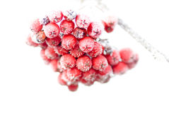Frozen rowan berries Royalty Free Stock Photos
