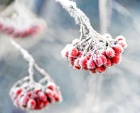 Frozen rowan berries. Bunch of rowan berries with ice crystals on blue cold sky Stock Image