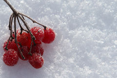 Frozen rowan berries on a snow Royalty Free Stock Photography
