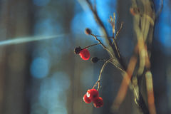 Frozen rowan berries in the sun in the winter forest. Frozen rowan berries in the sun in the forest Stock Photos