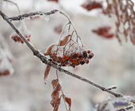 Frozen rowan berry tree covered with snow and ice closeup. Frozen rowan berry tree covered with snow and ice over the grey sky Stock Image