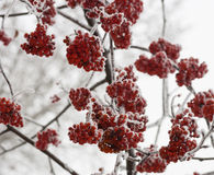 Frozen rowan berry tree covered with snow and ice closeup. Frozen rowan berry tree covered with snow and ice over the grey sky Stock Photos