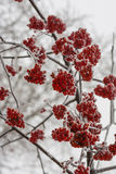 Frozen rowan berry tree covered with snow and ice closeup. Frozen rowan berry tree covered with snow and ice over the grey sky Royalty Free Stock Images