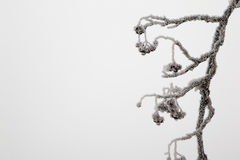 Frozen rowan branches. Stock Images