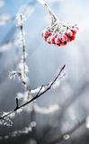 Frozen rowanberries Royalty Free Stock Photography