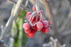 Frozen rowanberry Stock Photography