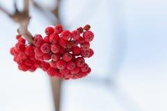 Frozen rowanberry under the snow Stock Image