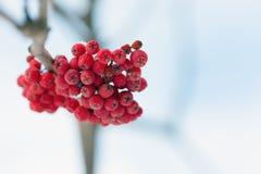 Frozen rowanberry under the snow Royalty Free Stock Photo