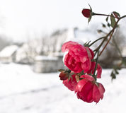 Frozen rozes. Frozen pink rozes , winter day Stock Photography