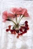 Frozen rpink pelargonium flower and snowball tree Stock Photography