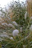 Detail of frozen garden early morning. Frozen rudbeckia and grasses in early morning garden royalty free stock images