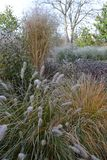 Frozen grasses garden early morning. Frozen rudbeckias and grasses in early morning garden Stock Photo