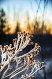 Frozen sagebrush bushes in the winter forest Stock Photos