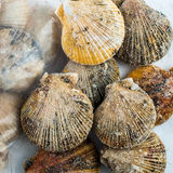 Frozen scallop shells Royalty Free Stock Photography