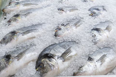 Frozen sea bream fish Royalty Free Stock Images