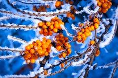Frozen sea-buckthorn tree brunch Stock Image
