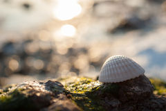Frozen Sea Shell with green seaweeds. A white shell placed on frozen water from sea and shells relics with a sea view Royalty Free Stock Photos