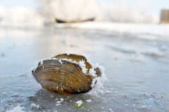 Frozen seashell Royalty Free Stock Photography