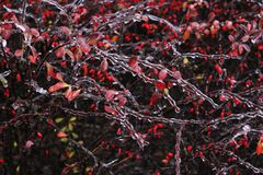Frozen shrub. Detail of frozen shrub with red leaves and little red berries. Small branches covered with ice are in the foreground Stock Images