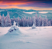 Frozen small fir tree in winter mountains Royalty Free Stock Image