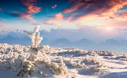 Frozen small fir tree in winter mountains at sunset Royalty Free Stock Photo