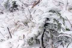 Frozen small pine tree royalty free stock photos