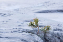 Frozen small pine tree and rock outdoor. Winter lakeside Royalty Free Stock Images