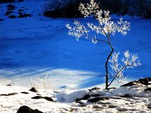 Frozen Small Tree with Snow Royalty Free Stock Image