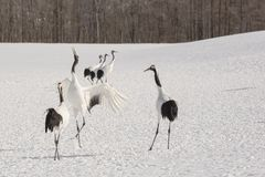Red-Crowned Crane Dancing for Mates. On a frozen snow-covered ground by a winter forest, a black and white red-crowned crane crosses it`s legs, spreads its wings Stock Photos