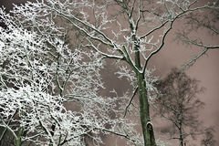 Frozen snow on trees in winter at night Stock Photo