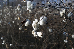 Frozen snowberry white Royalty Free Stock Images