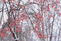 Frozen snowy red berries on tree Stock Images