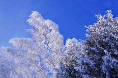 Frozen snowy tree branches on blue sky royalty free stock images