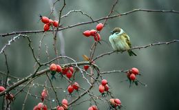 A sparrow among the red hips of the dog rose. royalty free stock photos