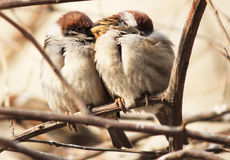 Frozen sparrows Stock Image