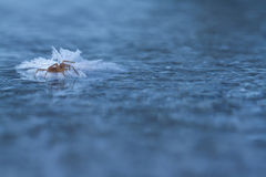 Frozen spider on ice in winter Stock Photography