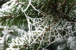 A frozen spider web in a pine tree. A beautiful frozen spider web in a pine tree in winter time Royalty Free Stock Photography