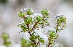 Frozen sprigs of thyme Royalty Free Stock Image