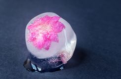 A frozen spring flower of pink color in an ice cube on a dark background. royalty free stock images