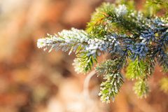 Frozen spruce branch Stock Photo