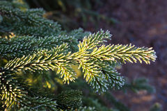 Frozen spruce branch Stock Photos