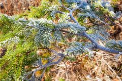 Frozen spruce branch Royalty Free Stock Image
