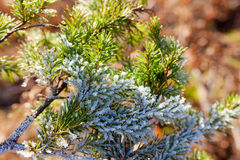 Frozen spruce branch Royalty Free Stock Images