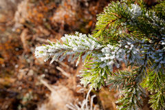 Frozen spruce branch Stock Photography