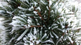 Frozen spruce. Frozen needles of spurce winter cold day in forest Royalty Free Stock Photography