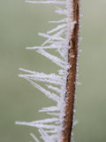 Frozen stalk isolated on green background Stock Image