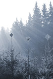 Frozen star peaks on firs. Sparkling Ice stars on the peaks of frozen firs with sun rays from behind, in a slight blue tone stock photos
