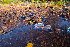 Frozen stick in a Puddle Royalty Free Stock Photo