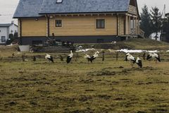 Frozen storks on wages after returning from warm countries in ea. Rly spring when there are still remains of snow Stock Photos