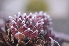 Frozen succulent Royalty Free Stock Image